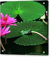 Water Lillies In Pink Acrylic Print