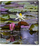 Water Lillies9 Acrylic Print by Charles Warren