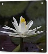 Water Lilly7 Acrylic Print