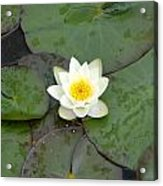Water Lily - White Acrylic Print