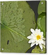 Water Lily 1 Acrylic Print
