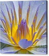Water Lily 18 Acrylic Print