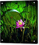 Water Lily 3 Acrylic Print