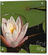 Water Lily 5 Acrylic Print