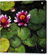 Water Lily Acanthius Acrylic Print