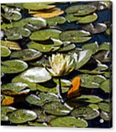 Water Lily And Bees Acrylic Print