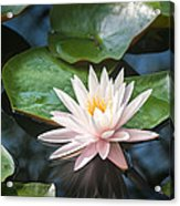 Water Lily And Lily Pads Acrylic Print