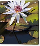 Water Lily And Lily Pads In A Pond Acrylic Print
