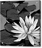 Water Lily Black And White Acrylic Print