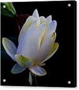 Water Lily Blossom In Shadows Acrylic Print