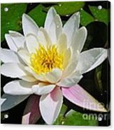 Water Lily Blossom Acrylic Print
