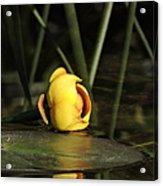 Water Lily Bud Acrylic Print