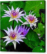 Water Lily IIi Acrylic Print