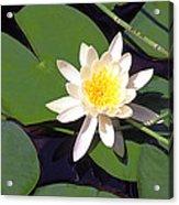 Water Lily I I I Acrylic Print