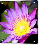Water Lily In Purple Acrylic Print
