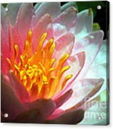 Water Lily In The Sun Acrylic Print