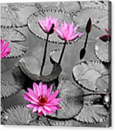 Water Lily Lotus Flower And Leaves Acrylic Print