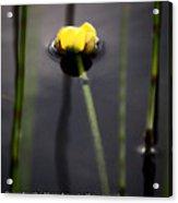 Water Lily  Luke  Acrylic Print