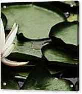 Water Lily Pad Acrylic Print