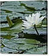 Water Lily Pictures 55 Acrylic Print