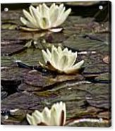 Water Lily Pictures 64 Acrylic Print