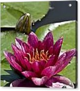 Water Lily Pictures 66 Acrylic Print