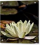 Water Lily Pictures 67 Acrylic Print