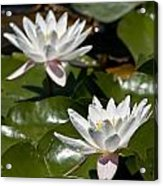 Water Lily Pictures 75 Acrylic Print