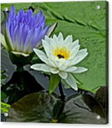 Water Lily Serenity Acrylic Print