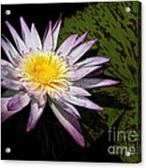 Water Lily With Lots Of Petals Acrylic Print