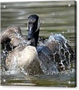 Water Logged - Canadian Goose Acrylic Print
