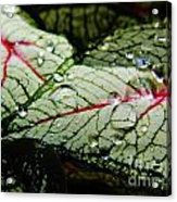 Water On The Leaves Acrylic Print