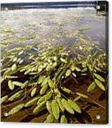 Water Plant Acrylic Print