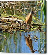 Water Rail Reflection Acrylic Print