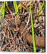 Water Snake In Hiding Acrylic Print