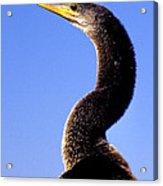 Water Turkey Anhinga Animal Portrait Acrylic Print