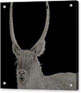 Waterbuck B W Abstract Acrylic Print