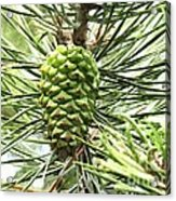 Watercolor Of Ripening Pine Cone Acrylic Print