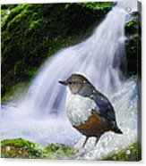 Waterfall And Ouzel European Dipper Acrylic Print