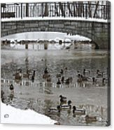 Watering Hole Ducks Only Acrylic Print