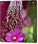 Watering The Cosmos Acrylic Print