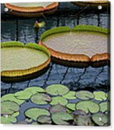 Waterlilies And Platters 2 Acrylic Print by Byron Varvarigos