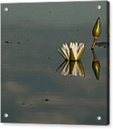 Waterlilly 4 Acrylic Print