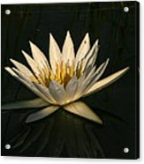Waterlilly 7 Acrylic Print