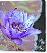 Waterlily And Bee Acrylic Print