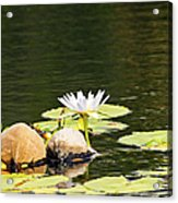 Waterlily And Coconuts Acrylic Print