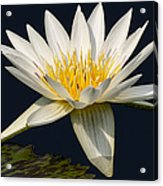 Waterlily And Pad Acrylic Print by Susan Candelario