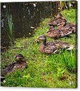 Watershed Ducks Acrylic Print