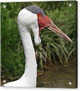 Wattled Crane Acrylic Print