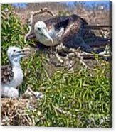 Waved Albatross  And Young Acrylic Print